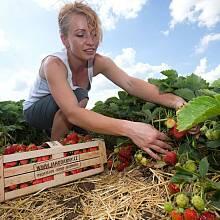 Samosběr jahod ve Slavoníně