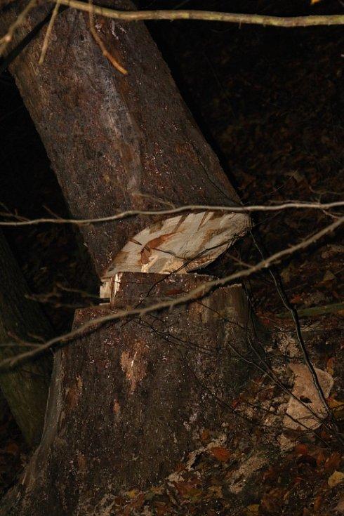 Zásah hasičů u nezdařeného pokusu o pokácení vzrostlého stromu v Hrubé Vodě