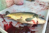Stánek Rybářství Horák (Uničov-Nová Dědina) u Terna. Nechat si kapra odborně usmrtit prodejcem na stánku, doporučují rybáři i veterináři.