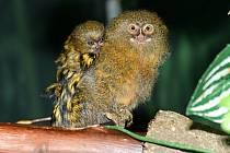 Zoo Olomouc se pochlubila mláďaty nejmenší opice na světě kosmana zakrslého, srpen 2021