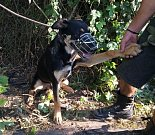 Jeden ze psů odchycených v roce 2018 olomouckou městkou policií