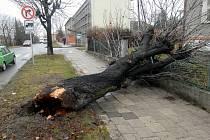 Vyvrácený strom v olomoucké ulici Erenburgova.
