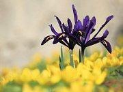 Kosatec síťkovaný ´J. S. Dijt´ (Iris reticulata), u správní budovy bot. zahrady. Tato časně jarní cibulovina pochází z Turecka, severního Iráku, Iránu a Kavkazu. Tyto drobné kosatce jsou vhodné především do skalek, ale i do nádob a je možné je též přirych