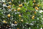 Květy a úroda citrusů v palmovém skleníku v Olomouci. 6. února 2020.
