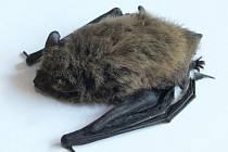 Netopýr jižní je drobný netopýr s délkou těla do 55 milimetrů.