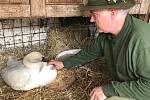 Ondřej Csik, vedoucí záchranné stanice v Pateříně, se zraněnou labutí, kdy ještě bojovala o život