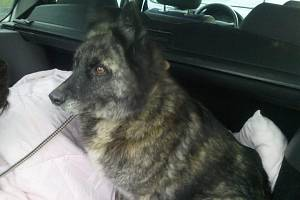 FENKA ASTY dostala čip v roce 2011 v útulku Jirkov. Nejdřív žila v Mostě, pak v Droždíně na Olomoucku, kde se v červnu 2016 ztratila. Našla se až o Vánocích v Krnově zaklíněná pod autem.