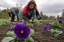 Jarní výsadba okrasných macešek na olomouckém výstavišti Flora.