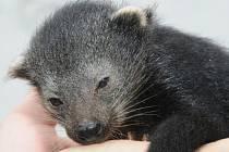 Amálka - nové mládě binturonga v olomoucké zoo
