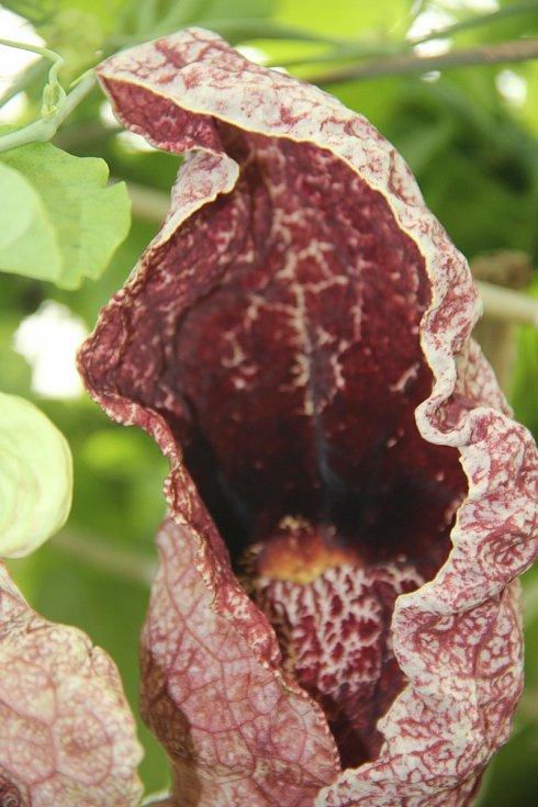 Květy Podražce obrovského připomínají maso a mají unikátní způsob opylování