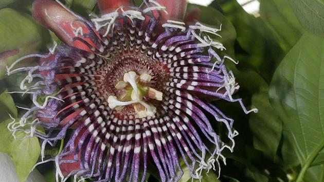 Mučenka obří (Passiflora alata)