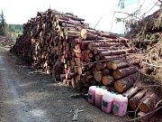 Apokalypsa. Jinak nelze popsat stav smrkových porostů kolem pramene Odry. Vyhledávaná turistická trasa připomíná bojiště, kde člověk v boji s dřevokaznými škůdci a počasím prohrává na celé čáře. Na snímku past na dřevokazný hmyz.
