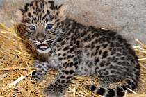 Zoo Olomouc se pochlubila kotětem vzácného levharta.