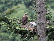 Letošní mládě orla skalního Bára se samicí Libavou v polovině června.