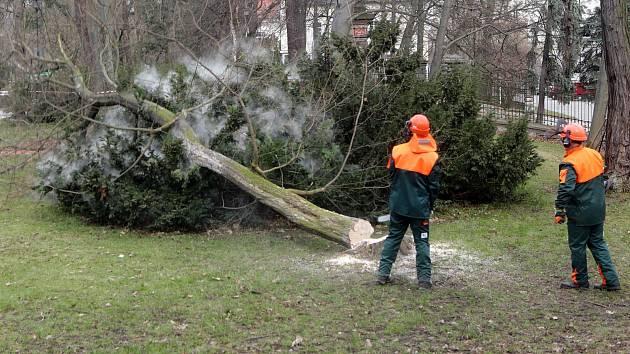Kácení starých stromů ve Smetanových sadech v Olomouci