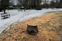 Obměna buků ve Smetanových sadech v Litovli, 22. ledna 2021