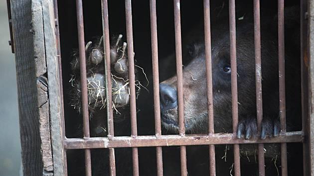 Zabavení ruští medvědi Arno a Máša cestují z olomoucké zoo do medvědária Český Krumlov.