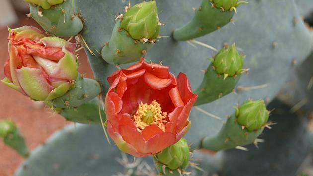 Skleníky v květnu a červnu lákají na kvetoucí kaktusy.