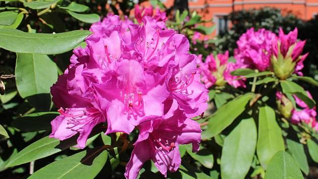 Rozkvetlé rododendrony. Ilustrační foto
