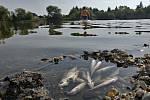 Úhyn ryb v olomouckém rybníce Hamrys
