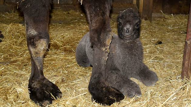 V olomoucké zoo na Svatém Kopečku se narodilo mládě velblouda dvouhrbého.