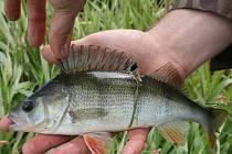 Ukázkový okoun v rukou rybáře.
