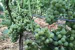 Plody vinohradu z Odrlic. 26. srpna 2020