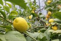 Citrusy v olomouckých sbírkových sklenících