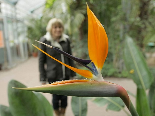 Kvetoucí Strelitzia reginae v olomouckém palmovém skleníku