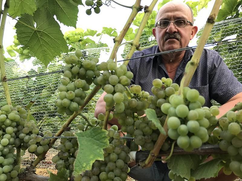 Vinař Oldřich Palička z Odrlic ukazuje ranou odrůdu Solaris.  Počátek její sklizně plánuje již na sobotu. 26. srpna 2020