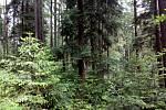 """Zhruba kilometr od """"bojiště"""" s holinou u Radíkova roste zdravý les. Odolal díky druhovému zastoupení dřevin - klíčovým druhem je zde jedle."""