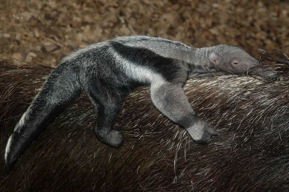 U mravenečníků velkých v olomoucké zoo mají mimino.