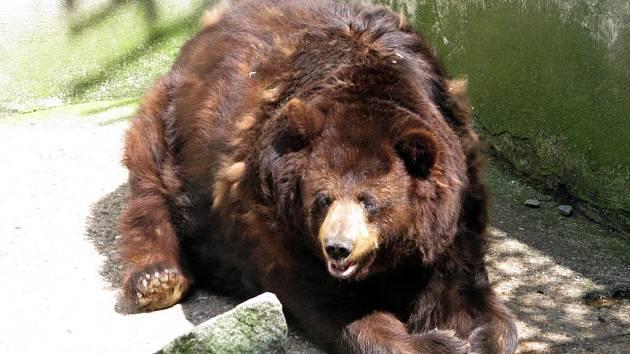 Olomoucký medvěd