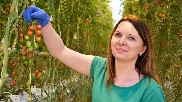 Pěstování oceňovaných cherry rajčat Angelle v Haňovicích na Olomoucku, 18. 3. 2021