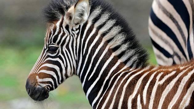 Mládě zeber Chapmanových v olomoucké zoo