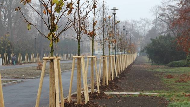 Nové kaštany v Rudolfově aleji vysazené začátkem listopadu 2012