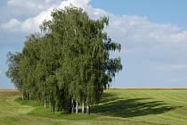 Březové stromořadí u Vranic