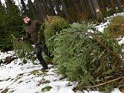 Lesníci v lesích u Lanškrouna hledají pěkné vánoční stromky, hlavně smrčky.
