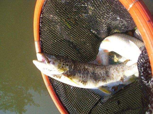 Na Třebovce opět umíraly ryby.