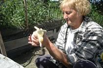V Noříně na Orlickoústecku byl potvrzen na farmě brojlerů virus ptačí chřipky. Jana Ďuračová s Nořína  se pomalu loučí se svým chovem kachen.