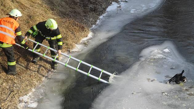 Záchrana kachen v Jablonném nad Orlicí.