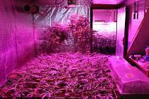 Pěstírna marihuany na Orlickoústecku.