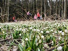Koberce bílých květů lákají do Královy zahrady u Semanína stovky lidí.