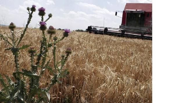Teplé počasí uspíšilo výjezdy kombajnů. Naopak přeháňky posledních dnů zemědělcům zkomplikovaly sklizeň. Pokud bude předpověď meteorologů správná, začne se se sklízením pšenice.