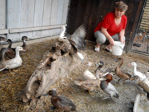 Chov Ludmily Motyčkové z Chocně, která vlastní vodní ptactvo, černé labutě, exotické ptáky, je v 3 km zóně.