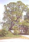 Muchova lípa a Babiččina vrba soutěží o titul Strom roku