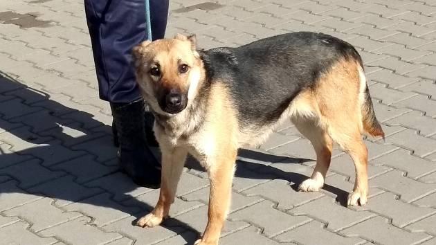 Fenka Bona byla jedním ze psů z původně 34 členné smečky, která žila se svými majiteli v centru města Česká Třebová.