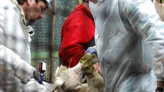 Vybíjení drůbežích chovů v Kosoříně.