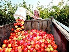 Jablka. Ilustrační fotografie.