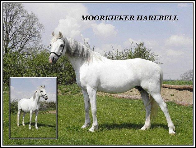 Moorkieker Harebell byla vybrána do soutěže Nejkrásnější kůň České republiky 2011.